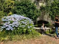 large hydrangea next to pond