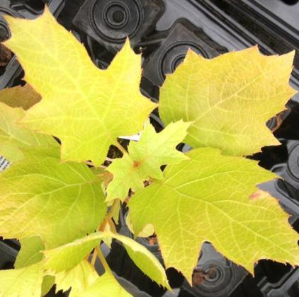 Oak Leafed Hydrangea