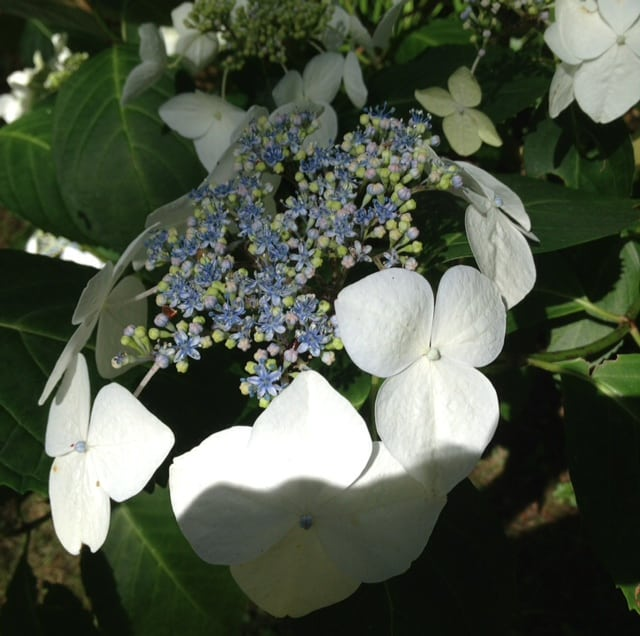 white lacecap hydrangea just flowering