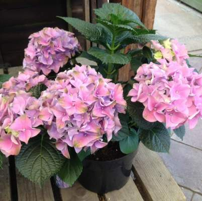 pot grown hydrangea
