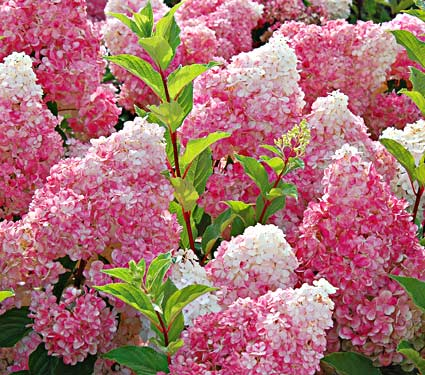 Vanilla Strawberry Hydrangea, a simply spectacular flowering shrub