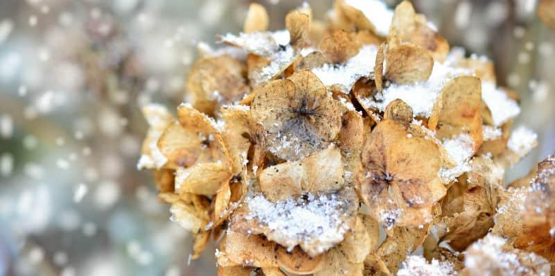 Potted hydrangea winter care