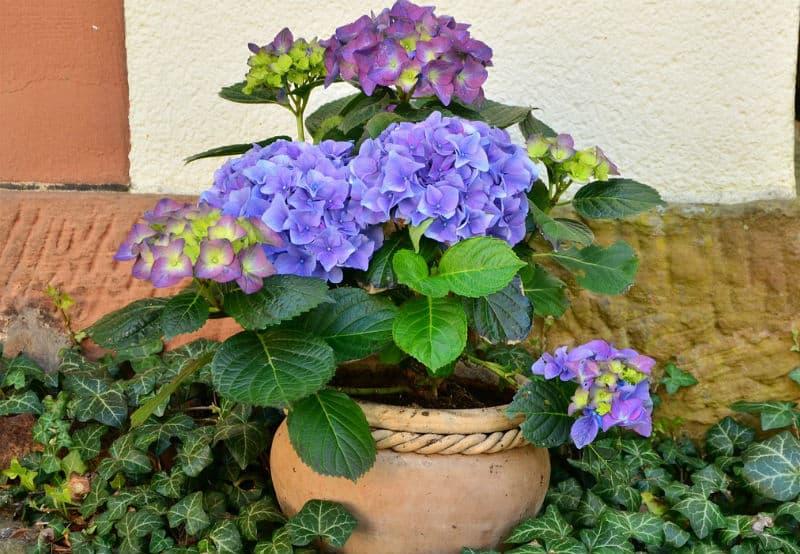 Pruning hydrangeas in pots