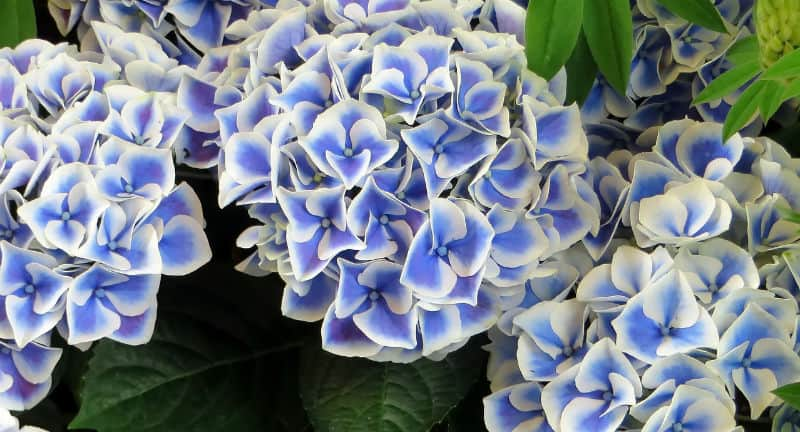 When do hydrangeas blooms