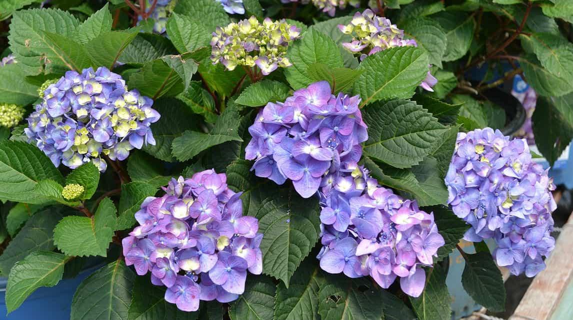 Deadheading endless summer hydrangea plants - Hydrangea Guide