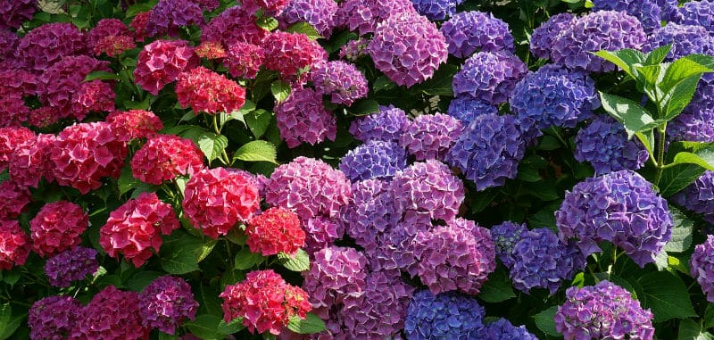 Do hydrangeas bloom all summer?