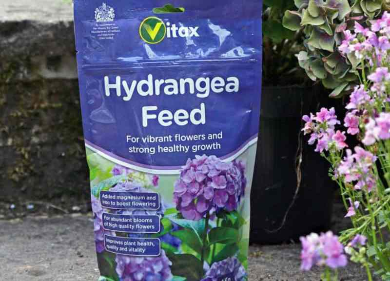 Do hydrangeas need feeding