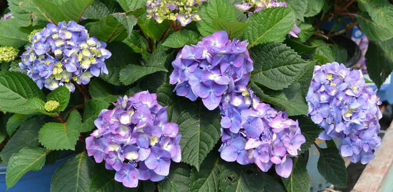 Endless Summer Hydrangea - Care and growing tip