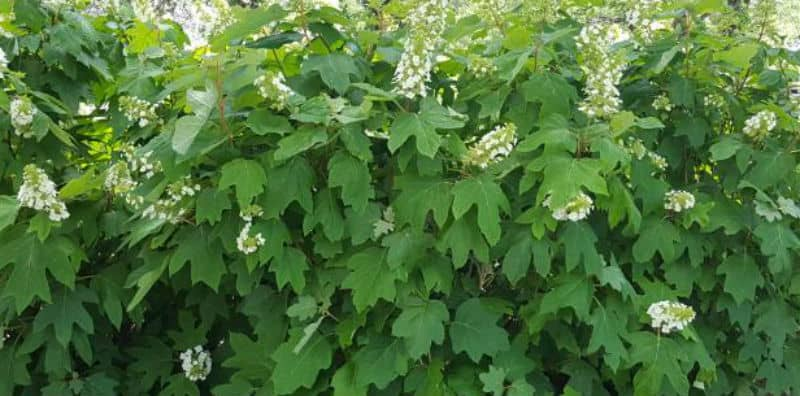 How to prune Oakleaf Hydrangeas