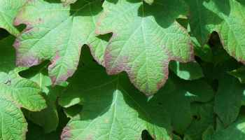 Why are my hydrangea leaves turning yellow - Hydrangea Guide
