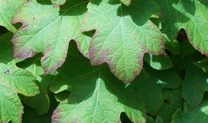 Hydrangea leaves turning purple