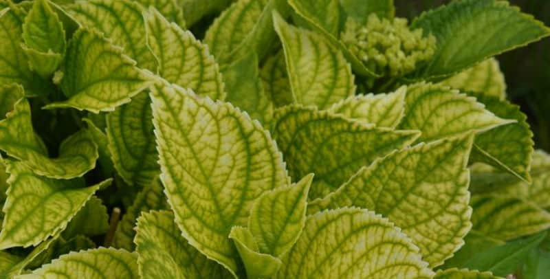 Hydrangea leaves turning yellow