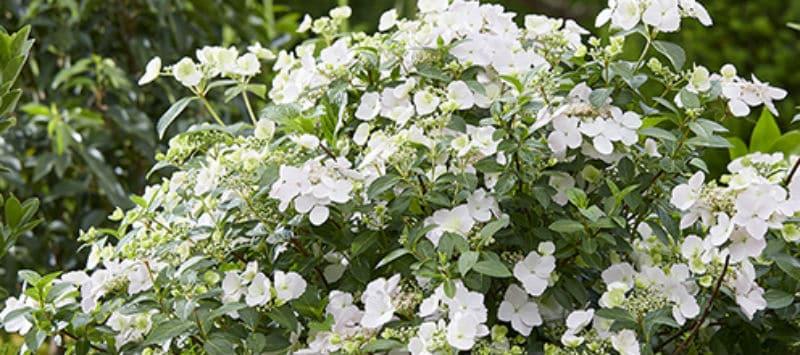 Hydrangea runaway bride growing guide