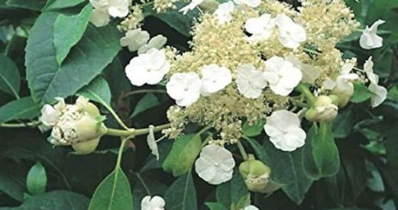 Hydrangea seemannii growing guide - Evergreen climbing hydrangea