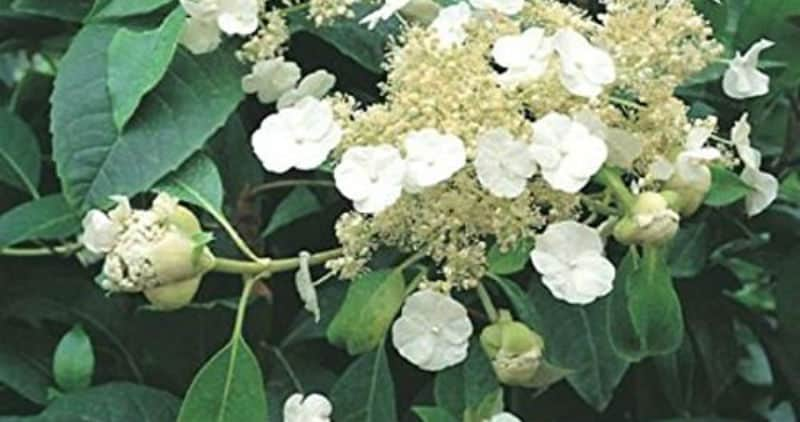 Hydrangea seemannii growing guide - Evergreen climbing hydrangea
