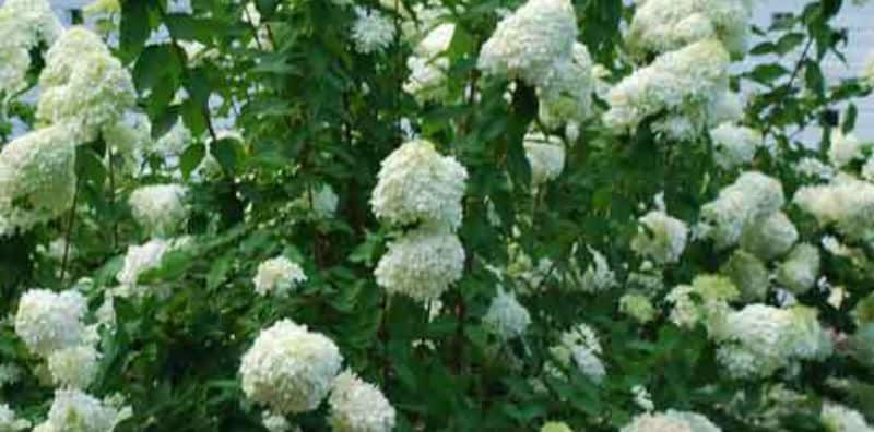 Pee Gee Hydrangea Pruning - how and when to prune