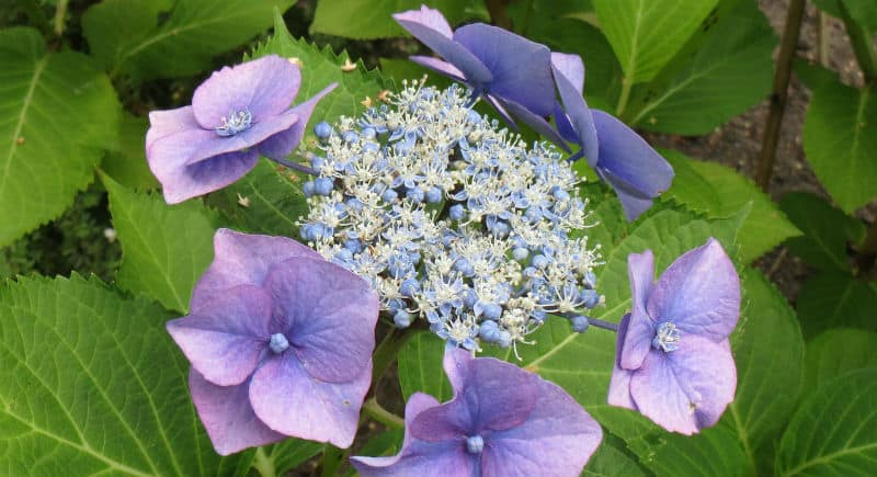 Pruning hydrangeas in Spring