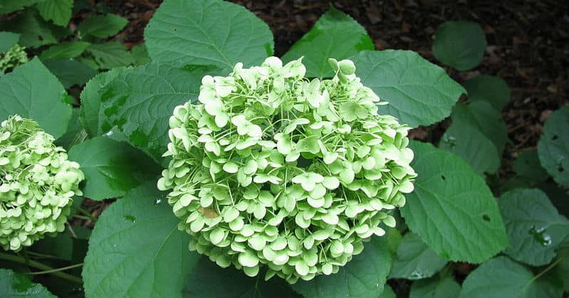 Smooth hydrangea care - Your guide to wild hydrangeas