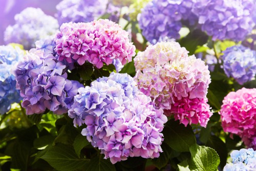 Having a hydrangea in your yard that simply isn't blooming is beyond frustrating but most of the time if something is wrong and your hydrangea isn't blooming to its full capacity, the solution is something rather simple.