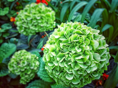 There is a cause for green hydrangea blooms. And that cause is none other than Mother Nature. the colourful flowers that are turning green are not actually flower petals but rather, sepals. Sepals are a part of the hydrangea flower designed to protect the flower bud.