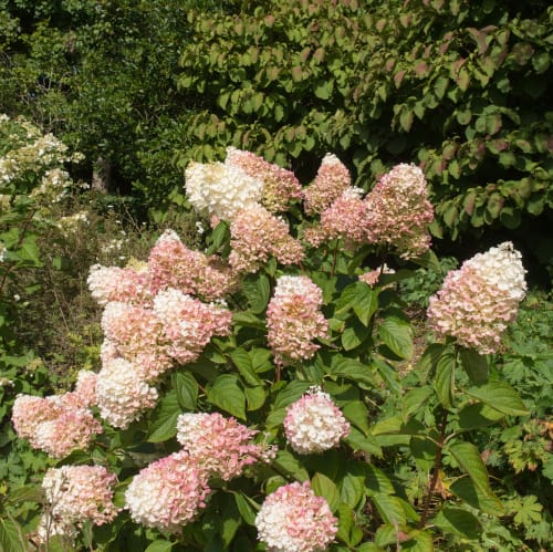 Your hydrangea tree can be pruned at any time with the one exception being summertime. However, the best time to prune is at the beginning of Spring.