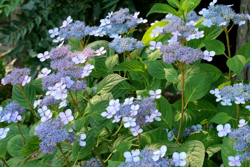 The lacecap hydrangeas have tiny blooms that are ringed by larger blooms taking on a star-like shape. Just like Mop Heads, they have flowers that develop on the growth from last year. Also like Mop Heads, the lace cap varieties need well-drained soil, they prefer morning sun with afternoon shade, and they need to be watered regularly. The same alkalinity remains true to hear such that you can change the color of the blooms based on the alkalinity or acidity of your soil.