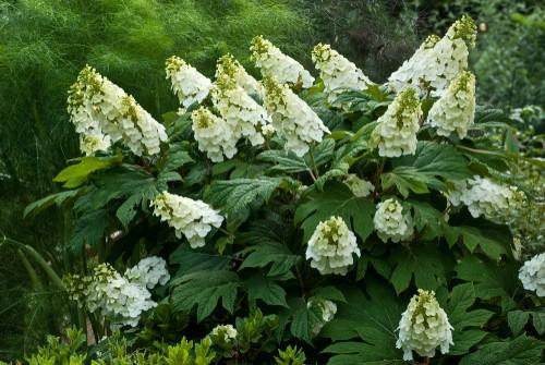Growing the Oakleaf hydrangea