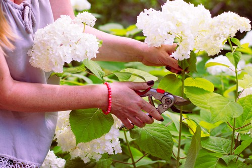 As is the case with all hydrangeas you can prune your wild hydrangeas back, close to the ground, at the end of winter. This helps to encourage better growth the following spring.