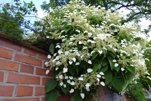 The Climbing Hydrangea is a shrub that climbs. It has very large leaves that are shaped like hearts and spiky white flowers. It is the biggest of all the hydrangeas out there and it can climb up to 50 feet and spread as wide a 6 ft. If you leave it on the ground and don't let it climb it will cover a space of 200 square feet or more. It's very drought tolerant and will grow very quickly.