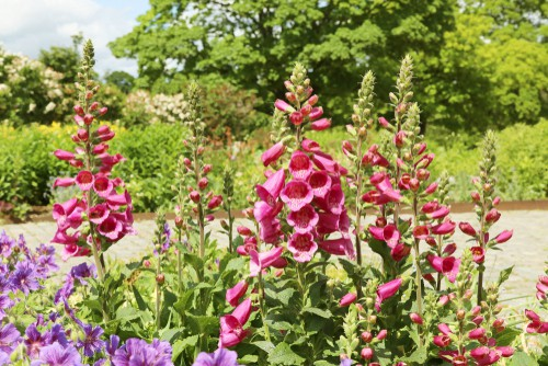 There are things like foxgloves that will grow very tall stalks and can be perfect for lining a flower bed around a hydrangea and you can find them in many different colors.