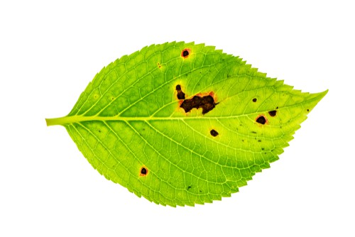 Leaf spot is a fungus that makes an appearance on hydrangea now and again. It's most prevalent during the rainy weather especially as the weather itself turns warmer.