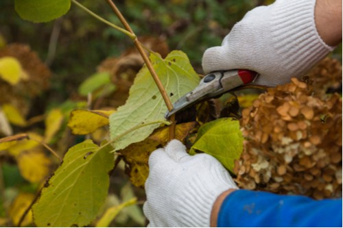 If you want to create a more tightly bound plant appearance you can always prune and trim appropriately. It is best to prune the hydrangea in the summer and fall after the leaves have sprouted.