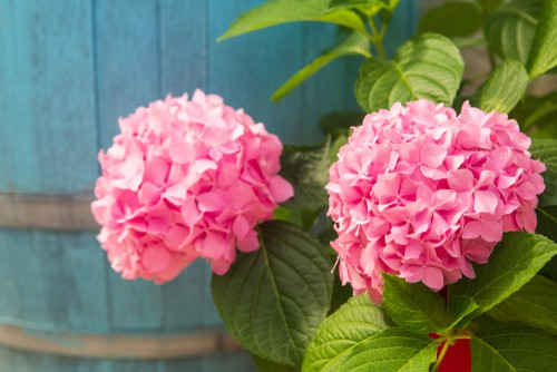 Do Hydrangeas Like Acid Or Alkaline Soil Hydrangea Guide