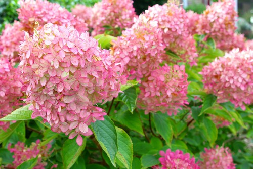 How to prune hydrangea Limelight varieties
