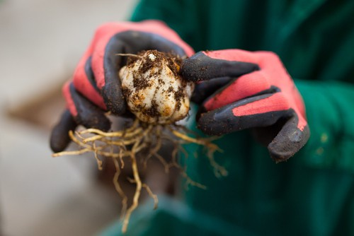 Dividing and replanting lily bulbs