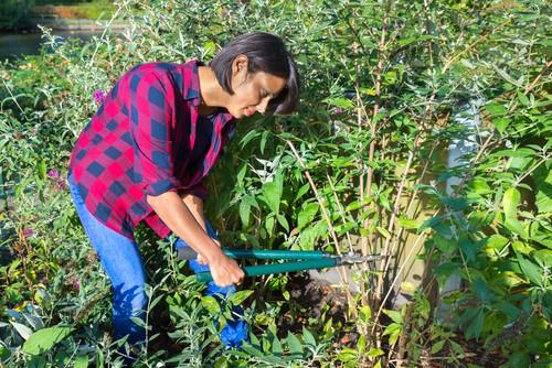 Pruning buddleia