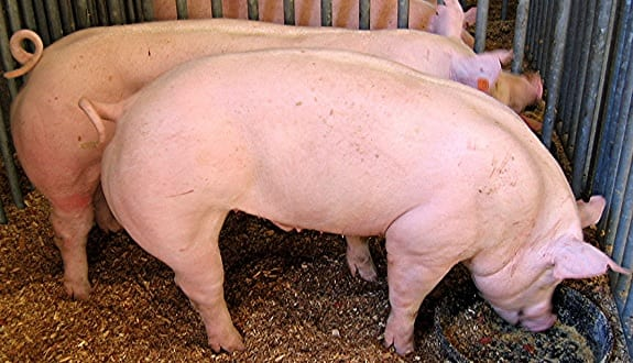 Swine waste to energy