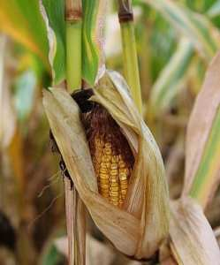 Waste to energy - Corn at havest time