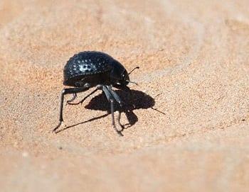 Wind Energy - Namib Desert Beetle