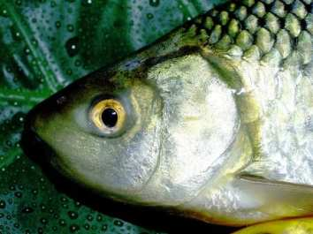 Green Energy Innovation - Fish Scales