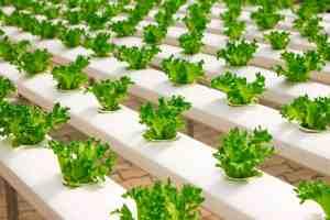 Hydro Grow vegetables