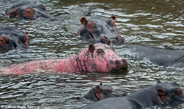 Woman in South Africa Gets Attacked by Hippo!