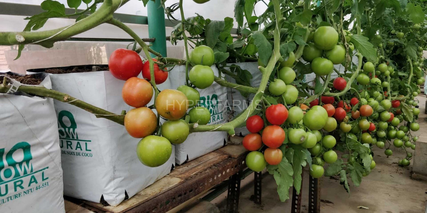 cocktail-tomato-hydroponics-hyperfarms-in-india7-Large