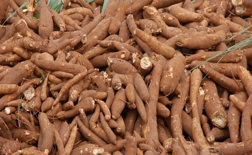 FG raises alarm over new cassava brown streak disease
