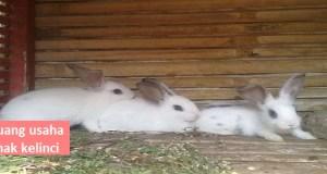 peluang-usaha-ternak-kelinci