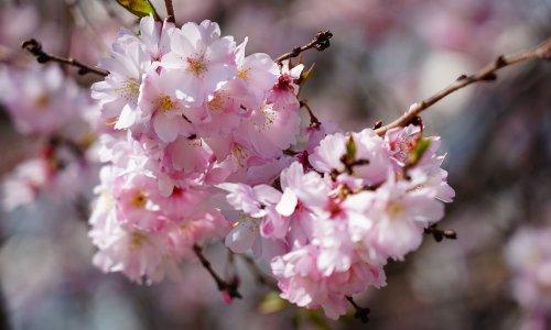 ボストンの桜