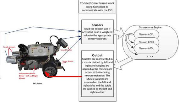 connectomerobot