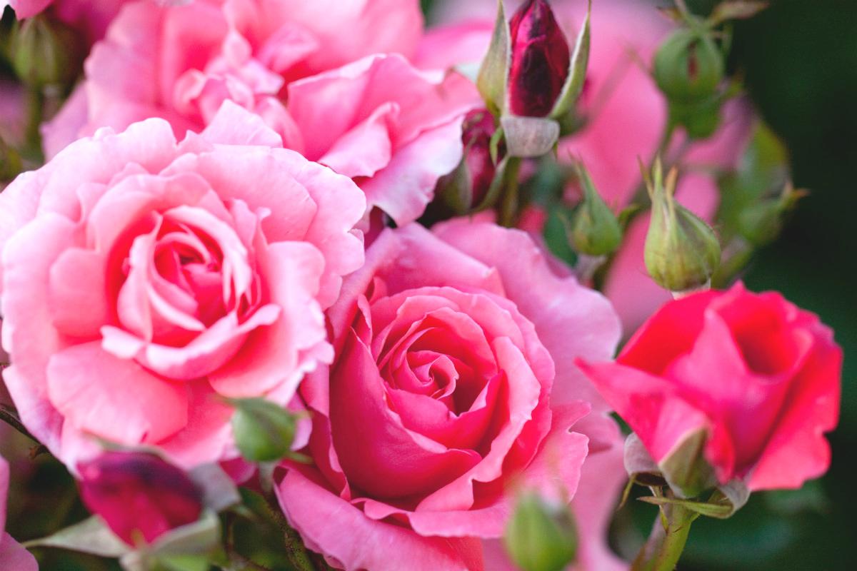 ~5月の誕生花・ピンクバラ~ 前向きな花言葉はプレゼントに最適