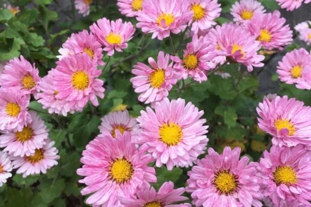 ピンクの小さな菊