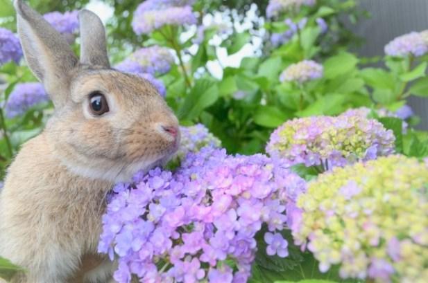 ウサギとアジサイ